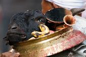 sacrificed buffalo head in ritual hindu religious ceremony, Nepal