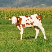 cute baby cow in summer standing on a grass field