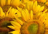 Sunflower close-up against field