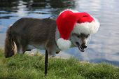 Santa Hat on a plastic wolf or coyote bird decoy.  Decoy of a Plastic Wolf or Coyote decoy to keep g poster