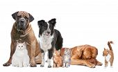 stock photo of cat dog  - Group of Cats and Dogs in front of a white background - JPG