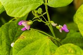 Purple Flowers Of Green Bean On A Bush. French Beans Growing On The Field. Plants Of Flowering Strin poster