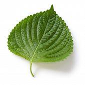 hojas de perilla, egoma