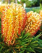 Banksia Duo poster