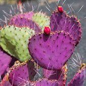 Lanzarote Guatiza cactus garden Cactaceae Opuntia Macrocentra pink from Mexico