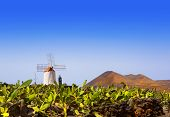 stock photo of nopal  - Lanzarote Guatiza cactus garden windmill and nopal chumbera in canary Islands - JPG