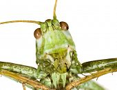 Extreme Macro shoot of Bush Cricket Head