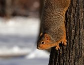 Squirrel In Snow Looking From Tree
