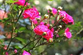picture of climbing roses  - Flowers of pink climbing roses on a sunny day - JPG