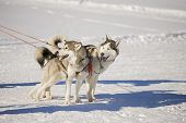 Two Siberian Husky Dogs With Harness