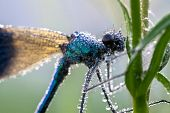 Dragonfly In Dew Drops