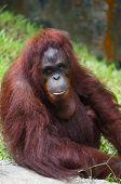 Orang Utan sitting posing and looking at camera
