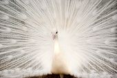 Portrait of White Peacock with Feathers Out
