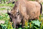 pic of aurochs  - Shot Of An Aurochs - JPG