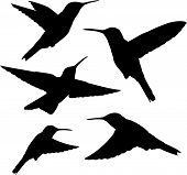 image of hummingbirds  - set of five detailed black hummingbird silhouettes isolated on white - JPG