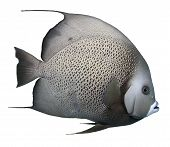 Grey Angelfish - Isolated