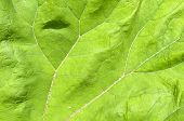 picture of butterbur  - Veins in a leaf from the common butterbur - JPG
