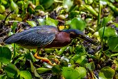 A Rare Shot of a Wild Green Heron Catching a Crawfish (Crayfish) in Texas