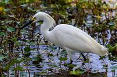 picture of long-fish  - A Sharp Closeup of a Wild Snowy Egret  - JPG