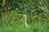 Great White Egret Amongst Grass