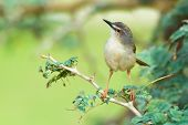 Tawny-flanked Prinia Perching