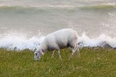 Sheep Eating Grass On A Dike