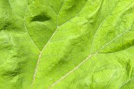 stock photo of butterbur  - Veins in a leaf from the common butterbur - JPG