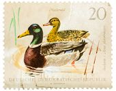 Postcard Printed In The Gdr Shows Wild Ducks