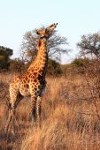 Giraffe Chewing A Bone