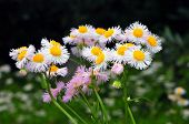 Flower of the Erigeron philadelphicus