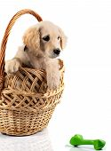 Golden Retriever In Basket