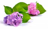 stock photo of hydrangea  - Pink and lilac hydrangea isolated on white - JPG