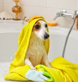 foto of spotted dog  - Jack Russell dog taking a bath in a bathtub