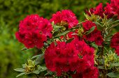 Red Rododendro In Green