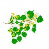 Linden Twig With Flowers Vector Illustration