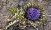 Artichoke flower on the ground
