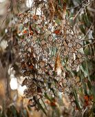 Monarch Butterflies Migration Eilwood Mesa  Grove Goleta California