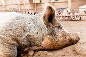 Slumbering pig