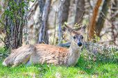 White tailed deer in Shenandoah National Park, Virginia