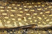 stock photo of fish skin  - Skin of a fish with scales - JPG