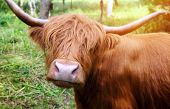 pic of highland-cattle  - Longhaired cattle up close - JPG