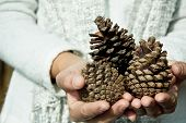 hand holding cedar cone,winter concept