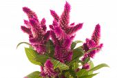 stock photo of cockscomb  - Cockscomb celosia spicata plant on a white background - JPG