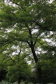 picture of pompous  - green high with pompous crown tree acacia - JPG