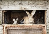 pic of cony  - Mother rabbit with newborn bunnies  in cage - JPG