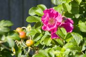 Rosa Rugosa In Bloom
