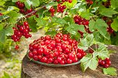 Red Currants On Plate And Bunch With Berries