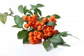 Pyracantha Firethorn orange berries with green leaves, isolated on white