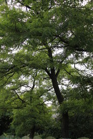 pic of pompous  - green high with pompous crown tree acacia - JPG