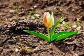 Tulip In The Spring